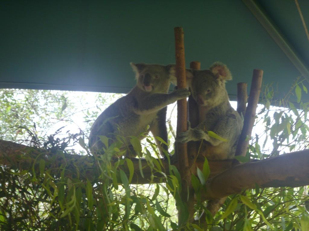 Cute Koala at Australia Zoo