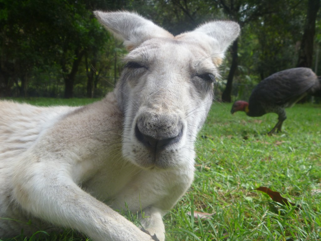 A sleepy Roo at Australia Zoo