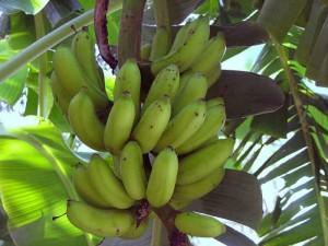 A few Bananas from Sundeck Garden